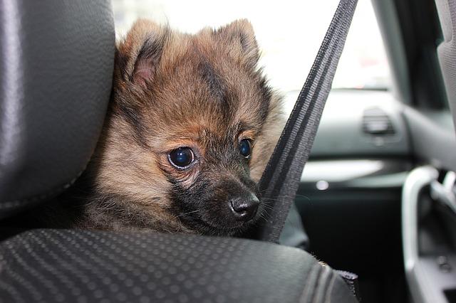 štěně v autě