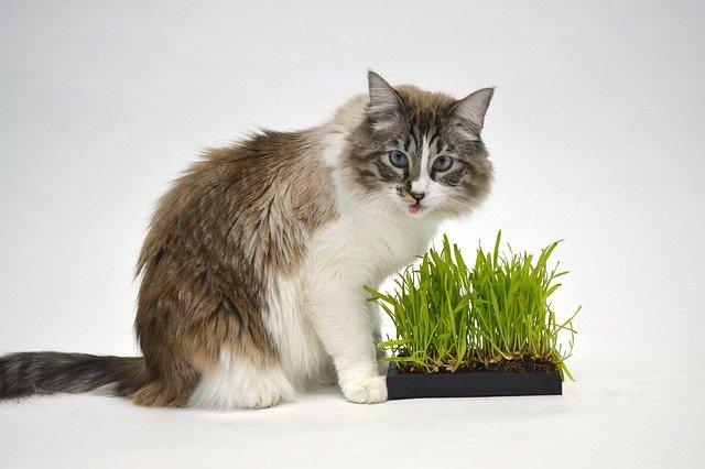 Chováte mačku v byte? Nezabudnite na kvetináč s trávou.
